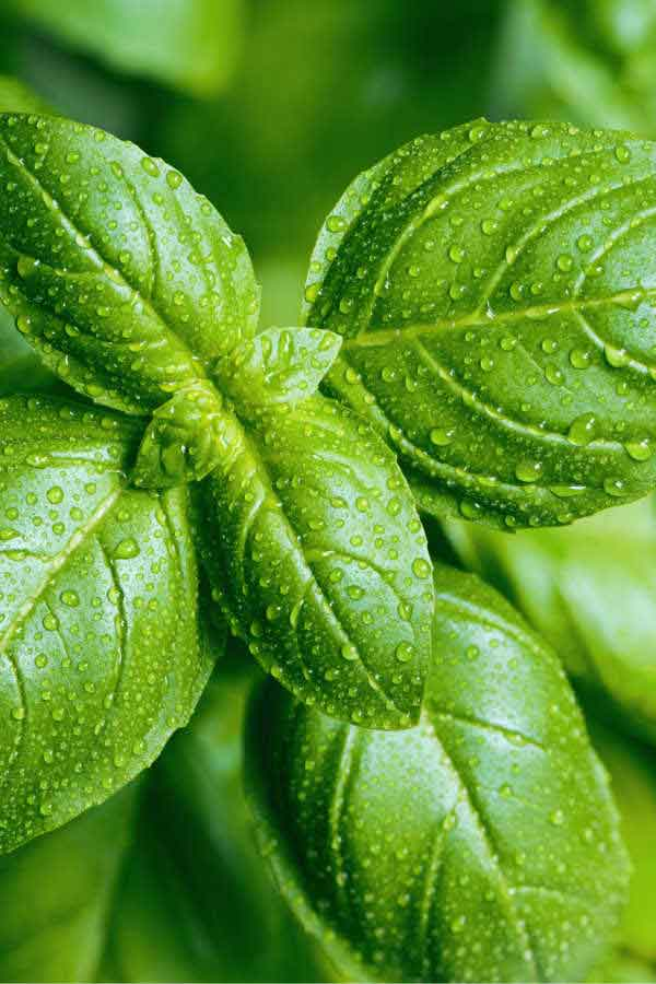 up close image of fresh basil leaves